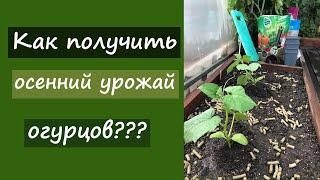 Как получить осенний урожай огурцов?