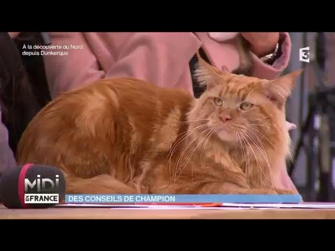 Le Maine Coon : un champion de chat