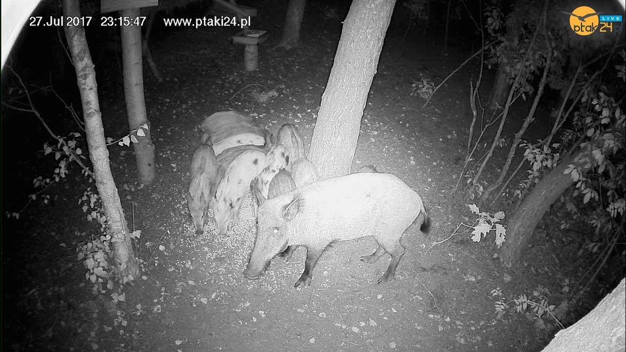 Locha z młodymi w karmisku dla dzikich zwierząt w lesie na Podkarpaciu
