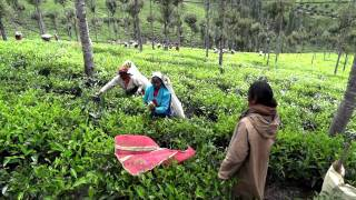 Harvesting Tea near Munnar (Kerala, India)