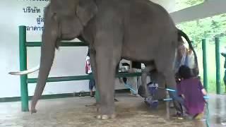 Коллекция спермы от бычачьего слона...  Петро Жир