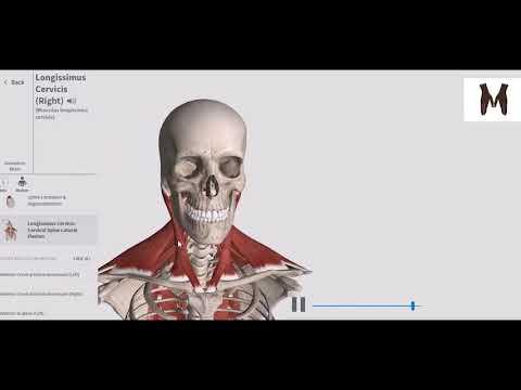 Глубокие мышцы спины. Детальный обзор 3D. Анатомия. Иннервация. Кровоснабжение.