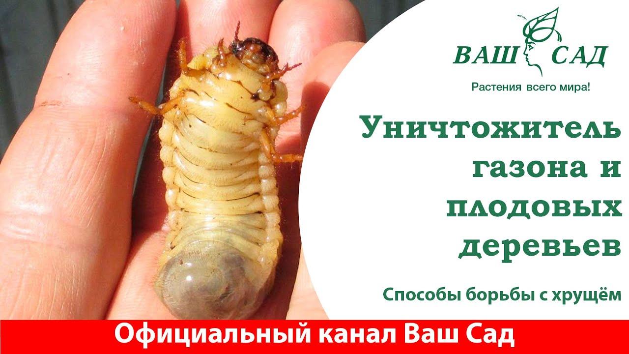 Майский жук (хрущ) - враг Вашего Сада. Эффективная борьба с личинками майского жука
