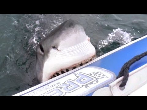 Great White Shark Attacks Inflatable Boat! (Exclusive Video)