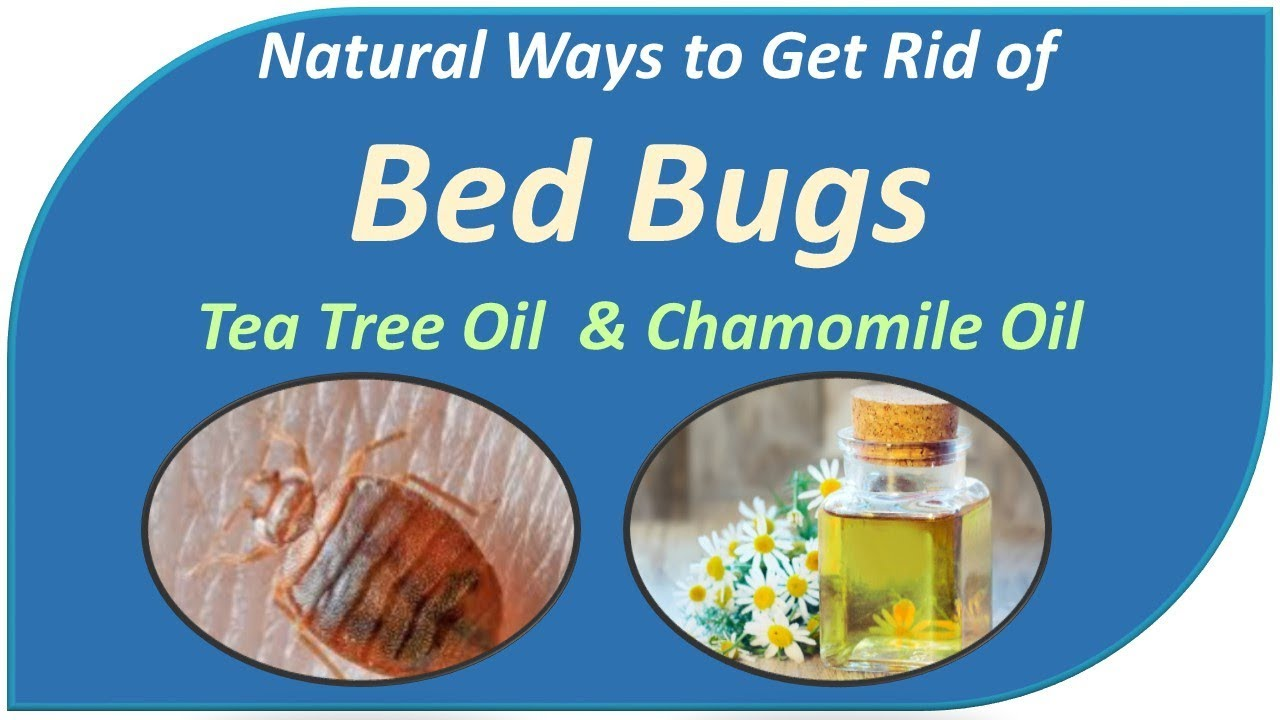 Natural Ways To Instantly Get Rid Of Bed Bugs Tea Tree