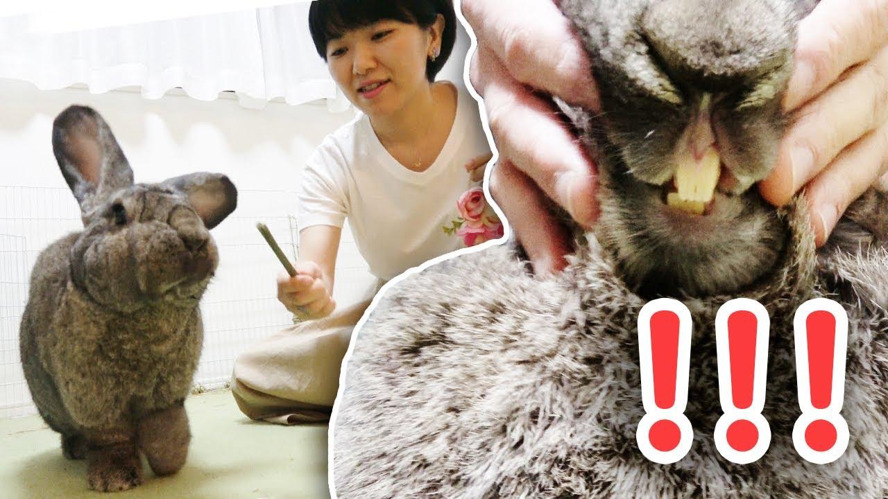 ラビット コンチネンタル ジャイアント 世界一大きなウサギ【コンチネンタル・ジャイアント・ラビット】