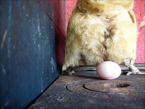galinha botando ovo from YouTube · Duration:  2 minutes 26 seconds