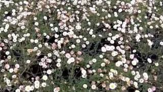 Video Erigeron Karvinskianus - Santa Barbara Daisy download MP3, 3GP, MP4, WEBM, AVI, FLV Agustus 2018