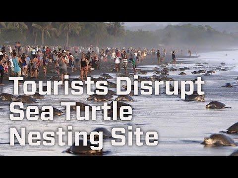 Tourists Disrupt Sea Turtle Nesting Site