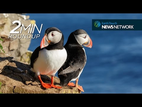 Whale vomit, puffins in peril & a flasher frog