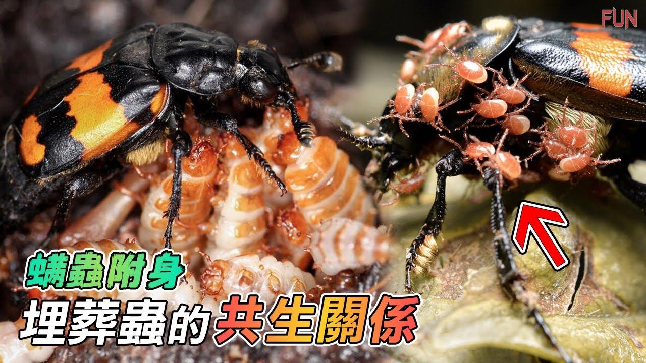 螨蟲附身!埋葬蟲超噁的共生關係 | 奇妙的動物二人組