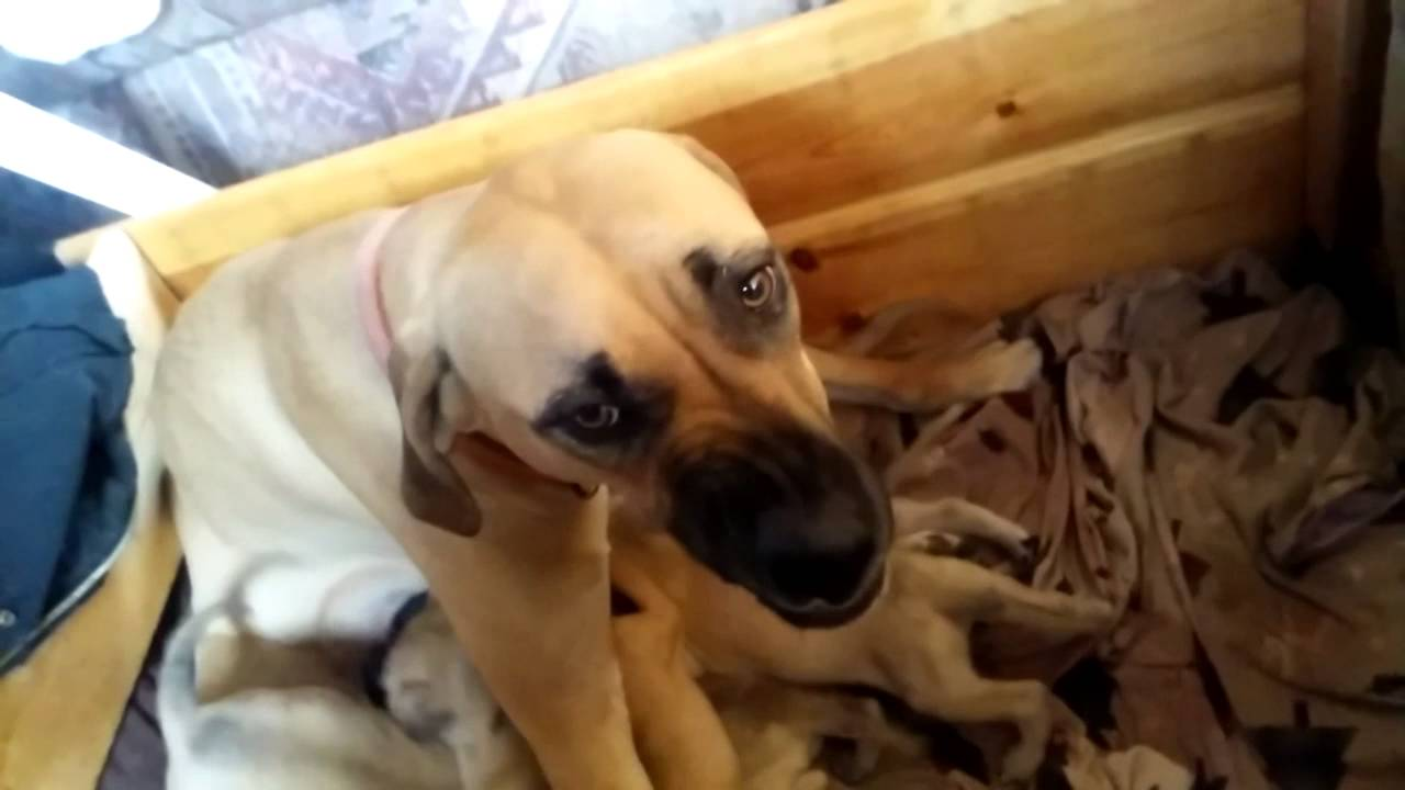 Must see Mouth Cur Black Adorable Dog - maxresdefault  Snapshot_551695  .jpg