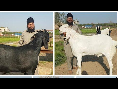 India's Biggest Punjabi Goats | Vishu Bhai Ke Bakre.
