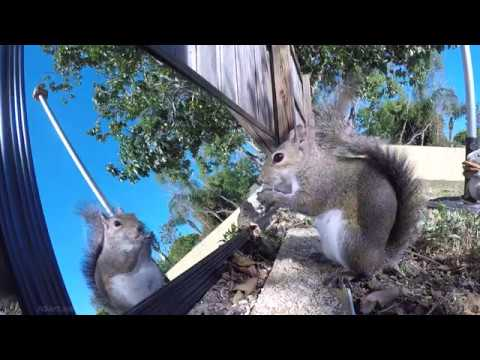 2 Hours of Eastern Gray Squirrels eating and reacting to seeing their reflection in a mirror