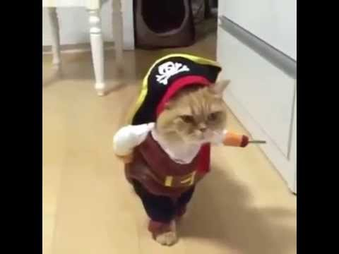 VIRAL FUNNY cat WALKING in pirate costume & VIRAL FUNNY cat WALKING in pirate costume - YouTube