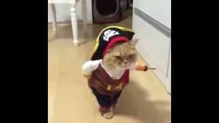 VIRAL FUNNY  cat WALKING in pirate costume