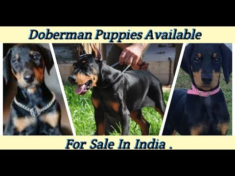Doberman Puppies For Sale | Dogs Price List