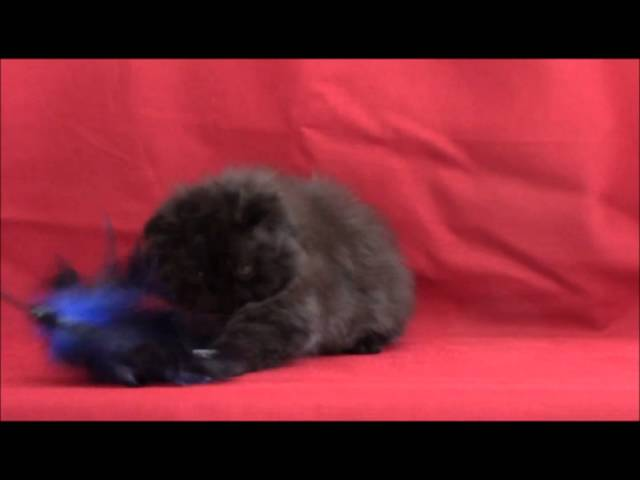 10 1/2 week old solid black Persian female cat