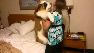 St Bernard Puppy - Doesn't Want to go to Bed