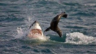 Морской котик совершает невероятные прыжки в отчаянном усилии уйти от акулы.