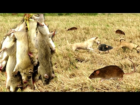Amazing children and dogs catching rats- Amazing dogs hunting rats- Best hunting dogs catch rat-