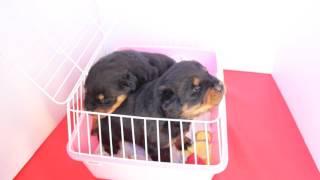【子犬販売 スマイルわん】で検索! http://smile-1one.com/ 関東・埼玉...