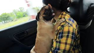 Unconditional love❤❤ Pugs are the best||🙂🙂