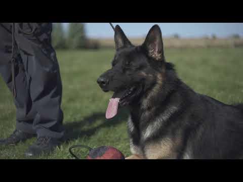 Road to Westminster (RTW): Breeder Series, Trends of the German Shepherd