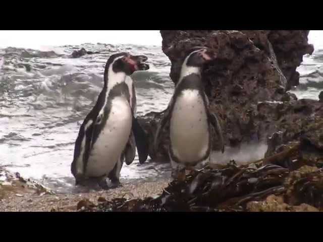 Humboldt penguin conservation in Punta San Juan with Saint Louis Zoo (Documentary)