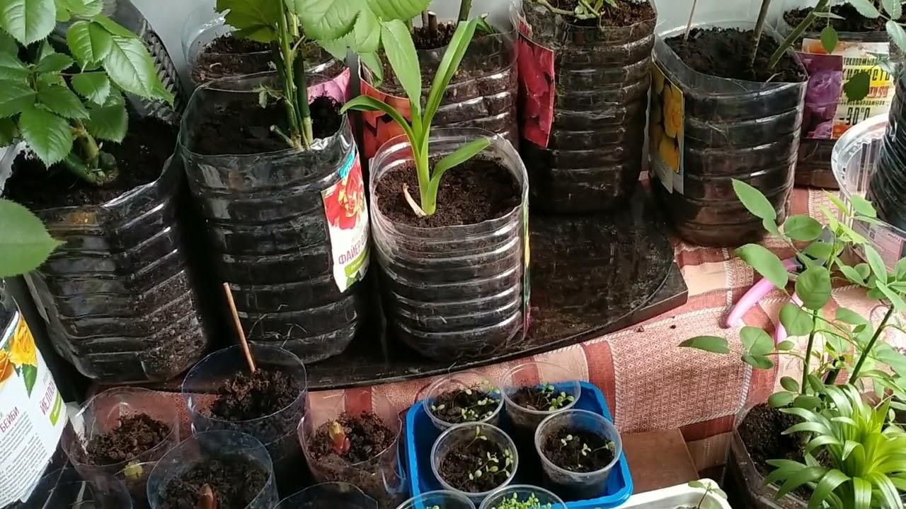 Розы, лилии, лилейники, посаженные в январе, феврале, марте растут на балконе, ждут высадки в грунт