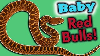red-bullsnakes-hatching-and-eating-for-the-first-time