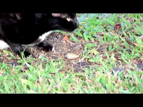 Super Cat Thailand แมวกินนก