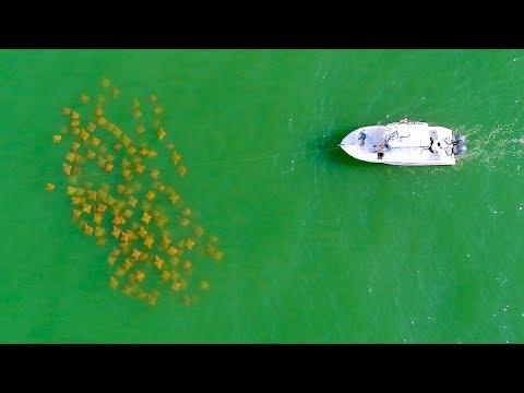 Sight Fishing Cobia In Virginia Beach - 4K