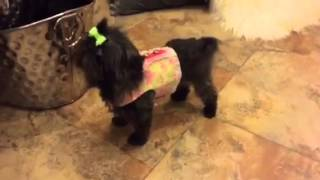 "Fairy Tail Shih Tzu Presents ""anastasia"" At 1 1/2 Years"