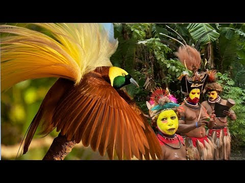 Amazing Bird of Paradise And Papua New Guinea Dance