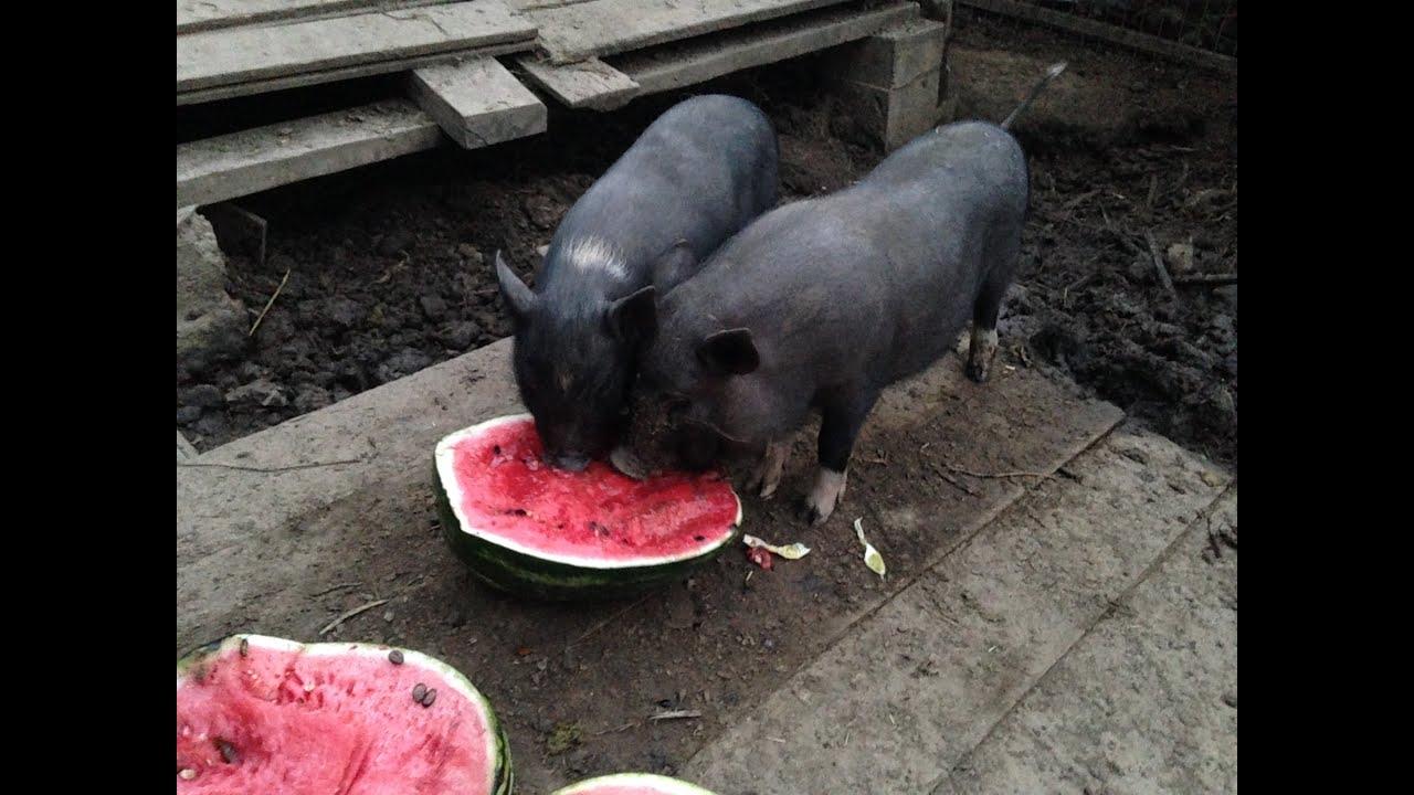 Совокупление свиней видео фото 38-373