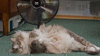 Как помочь кошке в жару ?