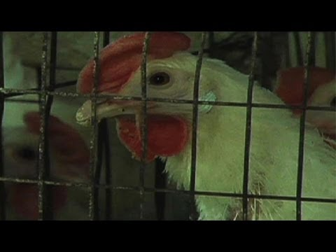 A Better Life For Egg Laying Hens