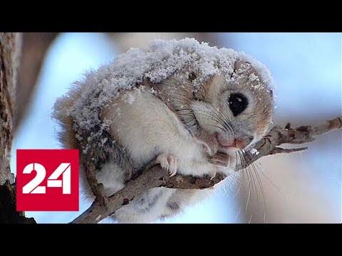 Японская летяга самая милая белка в мире Россия 24