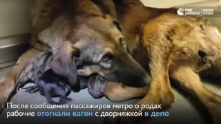 Собака родила щенков в вагоне метро