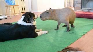Dog and Capybara thumbnail