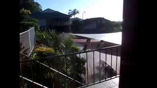 Kookaburra  call; Gold Coast Australia