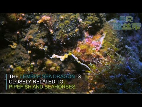 Lembeh Seadragon @ Blue Ribbon Dive Resort Anilao, Philippines