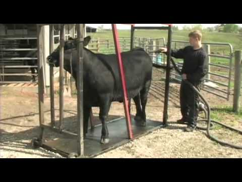 Fitting and Showing Angus Cattle, Part 1