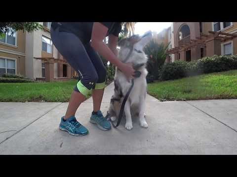 (#35) How To Train A Dog To Come & Touch You / How To Get My Dog To Come Focus On Me