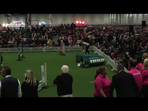 Ollie the Jack Russell at Eukanuba Dog Show 2017