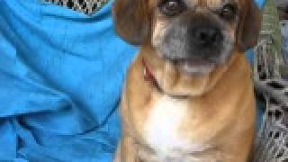 Video Of Adoptable Pet Named Pinky The Pug