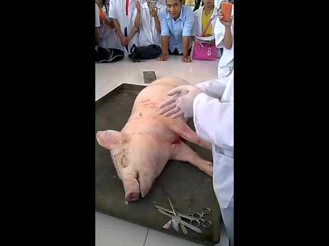 video giải phẫu lợn. trường đại học nông lâm bắc giang.