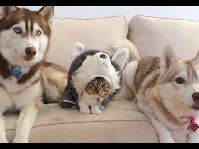 Kitten Raised by Husky Thinks She's a Dog