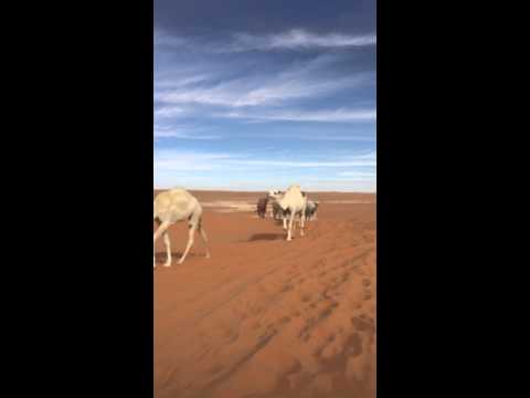 Camel and camels in Arabian desert nearby Tharmada